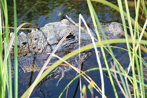 An up close photo of a mother alligator and her hatchling.