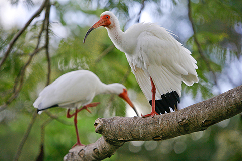 A stock photo of two Ibises which are the birds the University of Miami mascot resembles.